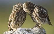 affetto-tra-gufi