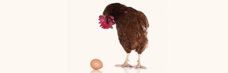 gallina con uovo