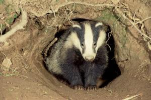 badger_-_meles_meles__067-2